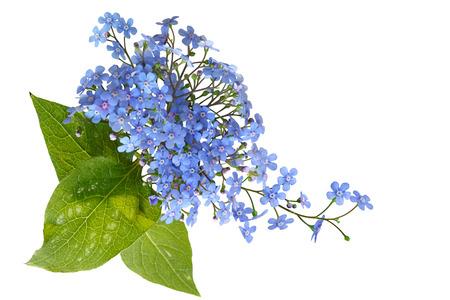 fiori di campo: Mazzo di dimenticare-me-non fiore isolato su sfondo bianco