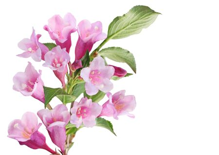 plant growth: Cluster of pink weigela flower isolated on white background Stock Photo