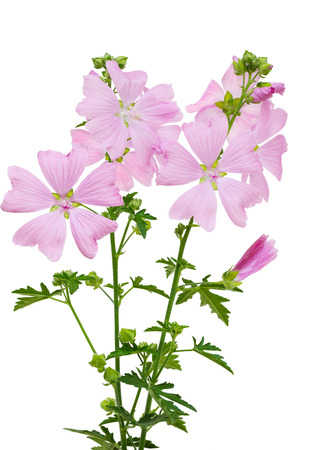 musk: Pink Malva moschata  Musk Mallow flower isolated on white background