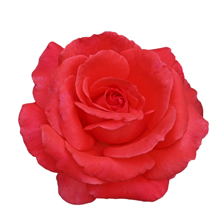 Single red rose flower head isolated on white background