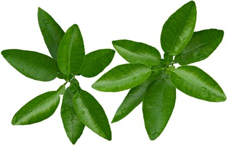 limon: Branch of citrus leaves isolated on white background Stock Photo