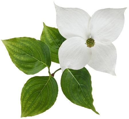 Witte kornoelje bloem geïsoleerd op achtergrond Stockfoto