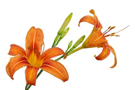flor de lis: Orange Day Lily flor o Tiger Daylily, leonado Daylily, Ditch Lily, ferrocarril Daylily, Tiger Lily Foto de archivo