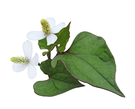 Houttuynia cordata chameleon fish mint flower and leaf isolated on white background Stock Photo