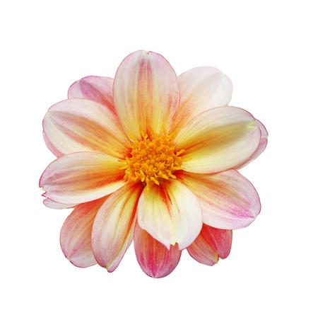 single object: Single dahlia flower head isolated on white background