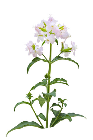 sweet background: Pink and White Saponaria officinalis (Bouncing Bet) wild flower isolated over background