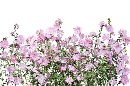 musk: Musk Mallow Malva moschata flower on the field isolated over white background Stock Photo