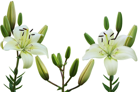 anthers: White lily flower in the garden isolated over background Stock Photo