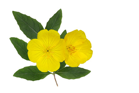 Yellow Evening Primrose (Oenothera fruticosa) flower and leaf isolated on white background Stock Photo