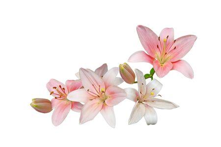 lirio blanco: Ramo rosado de la flor del lirio aislada en el fondo blanco Foto de archivo
