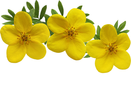 isolated flower: Yellow Yellow Monrovia Potentilla flower isolated on white background
