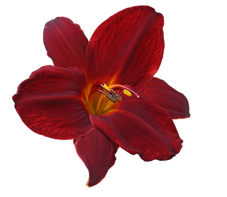 red flower: Single dark red daylily flower head isolated on white background