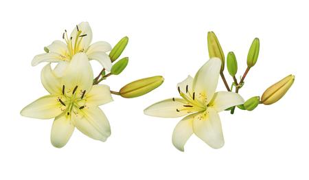 flor de lis: Amarillo claro racimo de flor de lirio aislado sobre fondo blanco