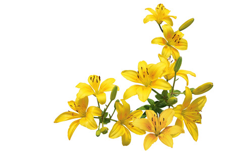 Bundle of yellow lily flowers isolated on white background