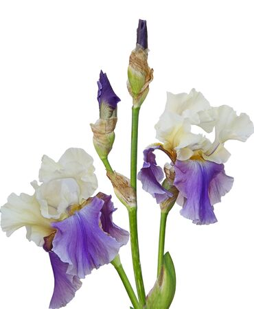 Bicolor Iris flower isolated on white background Stock Photo