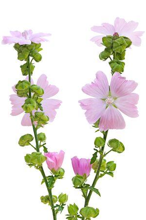 musk: Pink Musk Mallow Malva moschata flower plant Stock Photo