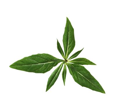 serrate: Everning Primrose Leaf isolated on white background,