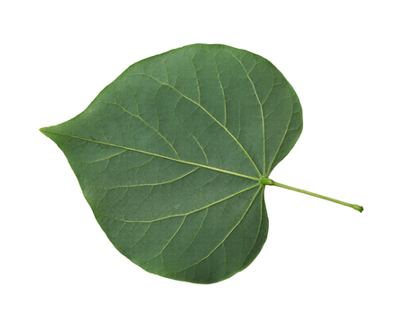 broadly: Single fresh redbud leaf  cordate isolated on white background