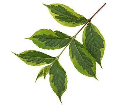 margen: Weigela hojas ovaladas oblonga con punta accuminate y margen serrado