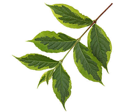 tip of the leaf: Weigela leaf Ovate oblong with accuminate tip and serrated margin