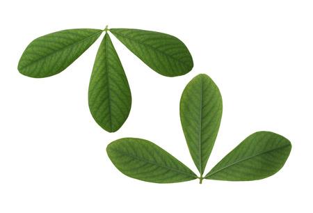 leaf shape: Two sides of False Indigo Leaf isolated on white background