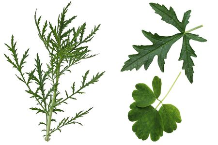 serrate: Set of  Musk Mallow Malva moschata, wild,  leaves isolated on white background