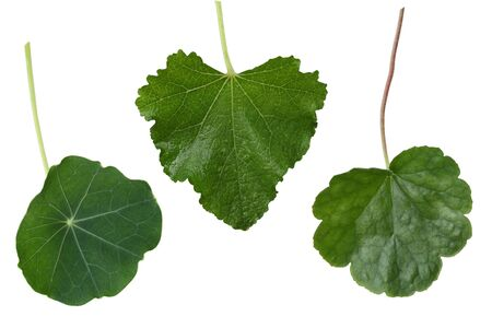 Colleage of Coral bell, Hollyhock , lNasturtium leaves isolated on white background