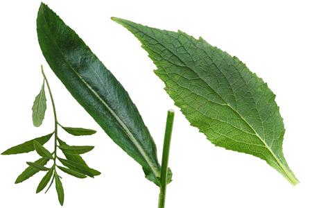 serrate: Set of primrose, daisy, black-eyed susan leaf isolated on white background
