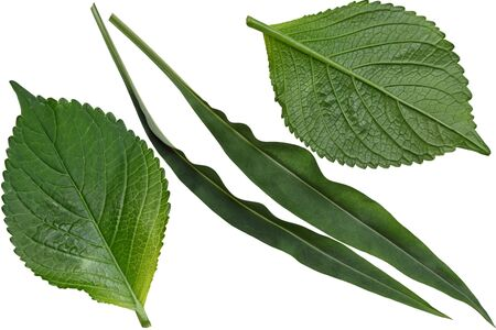 narrowly: Hydrangea and Stokesia laevis aster leaf isolated on white background Stock Photo
