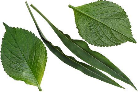 acuminate: Hydrangea and Stokesia laevis aster leaf isolated on white background Stock Photo