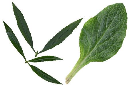 acuminate: Foxglove and eyeful tower leaf isolated on white background