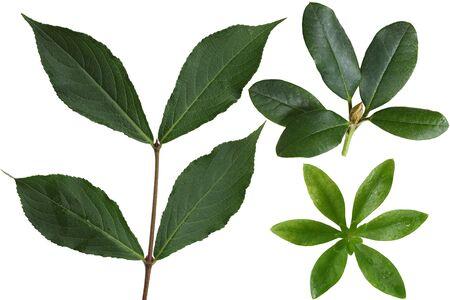 palmate: Set of Sweet Woodruff, Rhodoendron and Weigela Leaf isolated on white background