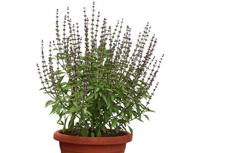 Vietnamese Basil plant with flower and seed in the pot