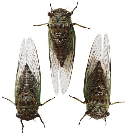 Exemplar: Set of Cicada Insects  bugs isolated on white background
