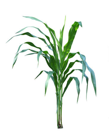 venation: Three corn plants in the garden isolated on white background