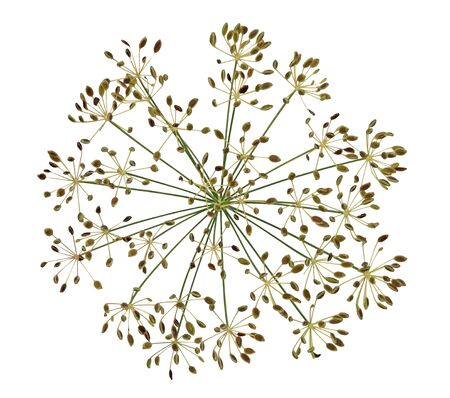 fennel seeds: Dried dill  fennel flower seeds isolated on white background