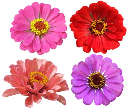 closeup of pink daisy with: Set of Zinnias Flower Heads isolated on white background