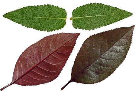 venation: Set of Salvia and purple cherry leaf isolated on white background