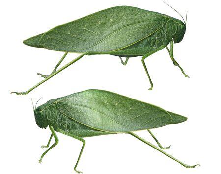 grasshoppers: Long-horned grasshoppers, Tettigoniidae, leafhopper isolated on white background