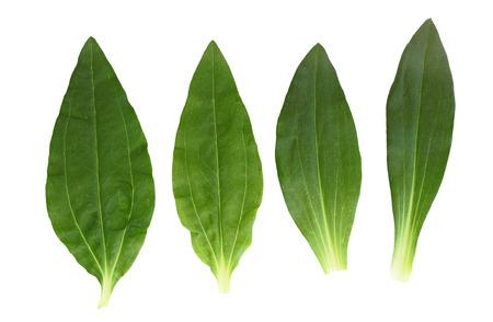 tip of the leaf: Set of soapwort bouncing bet and dianthus perennial leaf
