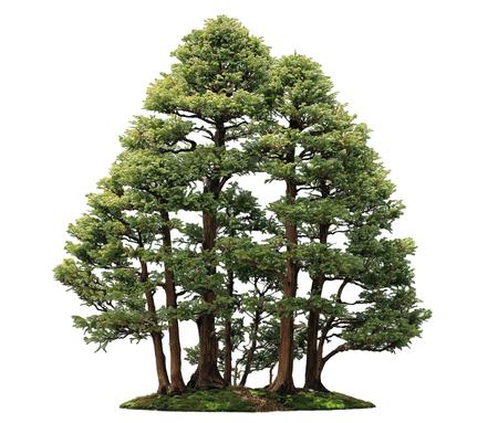 Sawara False Cypress, Boulevard Cypress, Blue Moss Cypress Boulevard Bonsai trees, isolated on white background