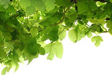 흰색 backgroun에 고립 된 자연 배경 포도 나무에 그린 포도 잎