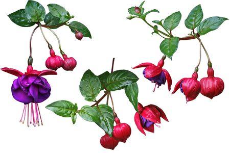 flores fucsia: Set Flor fucsia aislado en fondo blanco