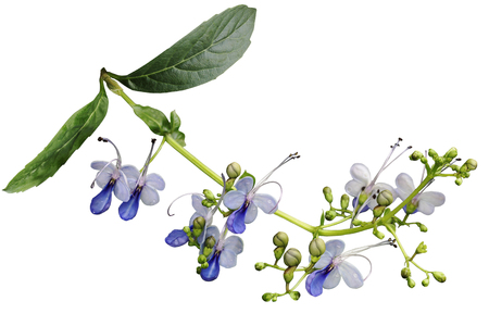 bower: Clerodendrum ugandense Blue butterfly flower isolated on white background