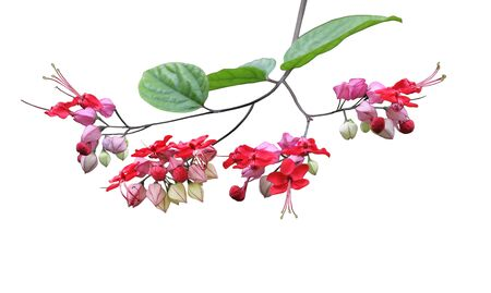 isolated flower: Bleeding-heart vine Flower isolated on white background Stock Photo