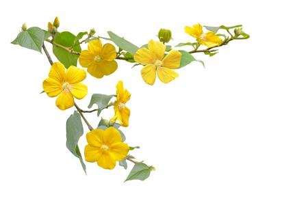 hibiscus: Flor del hibisco pequeña salvaje amarillo en rama aislada en el fondo blanco
