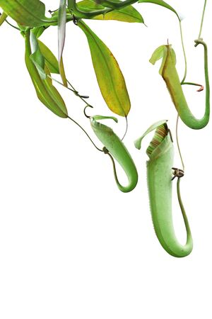 Fresh tropical pitcher plant with pitfall trap leaf isolated on white background
