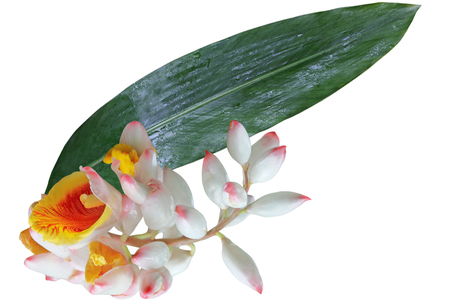 Alpinia zerumbet Shell Ginger flower and Leaf isolated on white background