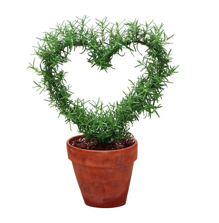 hearted: Hearted shape plant in a pot isolated on white background