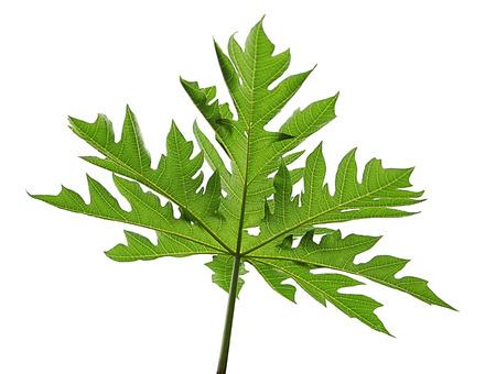 palmate: Papaya palmate leaf isolated on white background